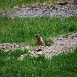 Prairie Dog at McDonald Lodge