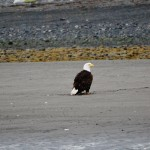 Bald Eagle Walking The Beach