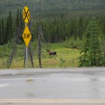 Bull Moose At The Entrance To Denali