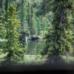 Moose In The Pond