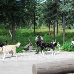 Sled Dogs Getting Ready