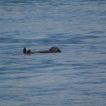 Sea Otter Floating Past Our Campsite.
