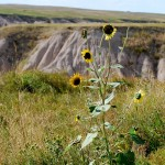 Black-eyed Susans At The Badlands